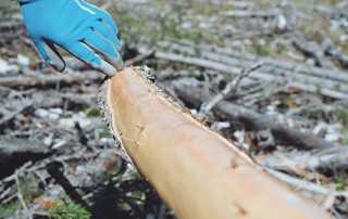 Tipi Pole Harvesting
