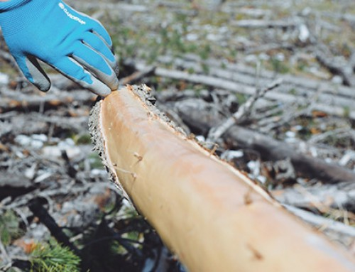 From land to lodge: St. Mary's University harvests poles for very own tipi