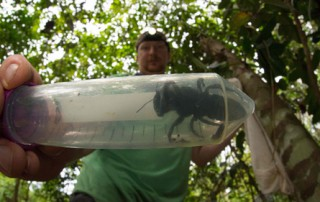 World's Largest Bee